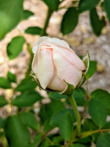This David Austin rose is just beginning to open. Called 'Lichfield Angel,' this flower's pale peachy pink buds gradually open to form neatly cupped, cream rosettes. Each bloom has a perfect ring of waxy petals enclosing numerous smaller petals. Eventually the petals turn back to form a large, domed flower.
