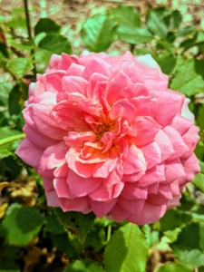 'Jubilee Celebration' is bold with large, domed, coral-pink flowers held elegantly above the foliage on graceful, arching stems. This cultivar has a strong, delicious fruity fragrance with hints of fresh lemon and raspberry.