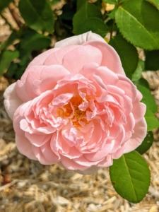 'Eglantyne' is a David Austin favorite. It has perfectly formed, soft pink blooms with a charming, sweet Old Rose fragrance.