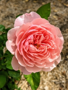And here is 'The Alnwick Rose' - with broad, full-petalled shallow cups of soft to rich pink.