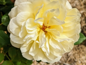 Another beautiful David Austin rose is 'The Poet's Wife,' which bears rich yellow flowers that pale over time. The form has an outer ring of petals enclosing more petals. There is a strong, wonderfully rich fragrance with a hint of lemon, which becomes sweeter and stronger with age.