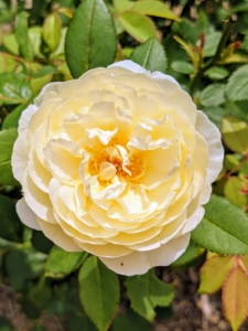 'Vanessa Bell' opens to medium-sized cups of pale yellow, lightening to white at the edges. At the center, each bloom has a rich yellow eye. The fragrance is similar to green tea with hints of lemon and honey.
