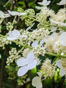 Here is a hydrangea that blooms with lovely lacecaps. The lacecap is very similar to the mophead, but instead of growing round clusters of showy blossoms, this hydrangea grows flowers that resemble flat caps with frilly edges.