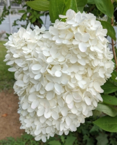 """It's hard to pass by these stunning white flower heads and not stop to admire their beauty. Hydrangea is a genus of at least 70-species of flowering plants native to southern and eastern Asia and the Americas. The Hydrangea """"flower"""" is really a cluster of flowers called a corymb."""