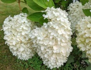 Hydrangeas are long-lived, and extremely vigorous specimens that offer lavish and varied blooms.