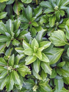 You probably recognize this - it's pachysandra. Also known as Japanese spurge, this easy-to-grow plant reaches less than a foot tall and spreads quickly via underground roots. Pachysandra flowers with tiny white blooms every spring, but the plant's evergreen, dark leaves that grow in whorls around their stems make it very popular in gardens.