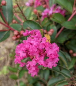 Other plants growing in this area include the crepe myrtle. Lagerstroemia, commonly known as crape myrtle, is a genus of around 50 species of deciduous and evergreen trees and shrubs native to the Indian subcontinent, southeast Asia, northern Australia, and other parts of Oceania.