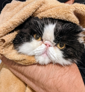 After her bath, Tang is wrapped in a large terry towel for drying. Be sure to dry in an area free from drafts. Tang is very affectionate, and loves being swaddled, held, and petted.