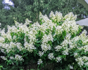 Panicle hydrangeas are known for their cone shaped flower heads. These large blooms typically start white and may turn a slight pink. All the paniculatas are very cold hardy.