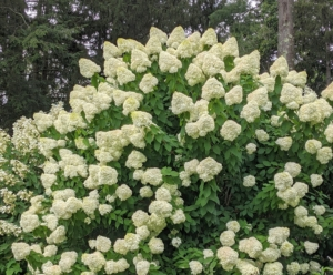 """The name hydrangea originates from two Greek words – """"hydro"""" meaning """"water"""" and """"angeion"""" meaning """"vessel"""" or """"container."""" Together, the rough translation is """"water vessel"""" which refers to their exceptional thirst for water."""