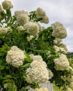 Most hydrangeas are shrubs, but some are small trees. They can be either deciduous or evergreen, though the widely cultivated temperate species are all deciduous.