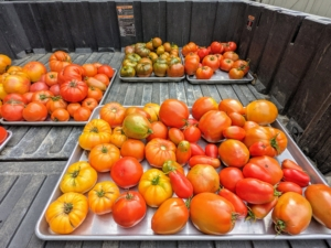 At long last, our tomatoes are ready! We grow about 100 tomato every year. Most tomato plant varieties need between 50 and 90 days to mature. My head gardener, Ryan McCallister, harvested many, many wonderful tomatoes over the last few days.