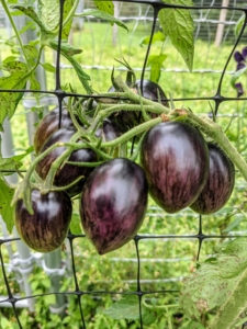 These tomatoes start off dark purple and ripen to a dull purple-brown. The inside will be a pretty red-orange. Another clue is that the bottom of the fruit, which often remains green, since sunlight doesn't reach it, will turn red. And, like other tomatoes, these fruits will soften a bit when ready to pick.