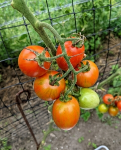 We'll be harvesting tomatoes for a couple of weeks - a little bit every couple of days.