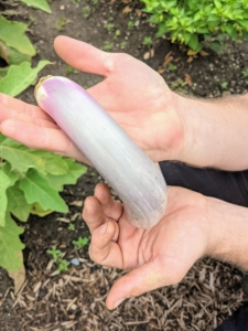 Ryan also harvested several eggplants. I prefer to pick them when they are smaller – this one is perfect. And look at its color - an almost gray variety.