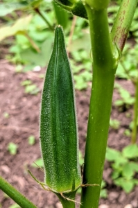 I love okra, but for some, okra is too slimy when cooked. Okra is very healthy, however – it's high in fiber, vitamin-C and full of antioxidants, so give it try!