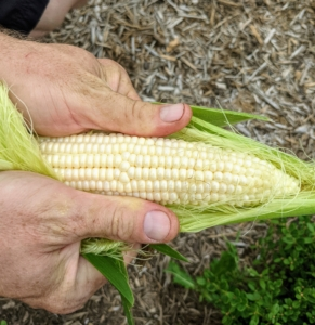 """Corn is ready for harvest about 20 days after the silk first appears. At harvest time, the silk turns brown, but the husks are still green. Each stalk should have at least one ear near the top. And make sure it is in the """"milk stage."""" Puncture a kernel and look for milky liquid inside. If it's clear, the kernels aren't quite ready. If there is no liquid, you've waited too long. Ryan harvested a bucket of corn on the cob - these look excellent."""