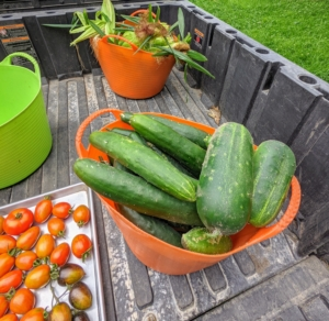 We also harvested an entire bucket of cucumbers. Cucumbers require a long growing season, and most are ready for harvest in 50 to 70 days from planting. The fruits ripen at different times on the vine, but it is essential to pick them when they are ready. If they are left on the vine too long, they tend to taste bitter.