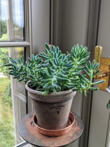 Senecio is a succulent plant grown for its decorative foliage. Senecio is a genus of flowering plants in the daisy family that includes ragworts and groundsels.