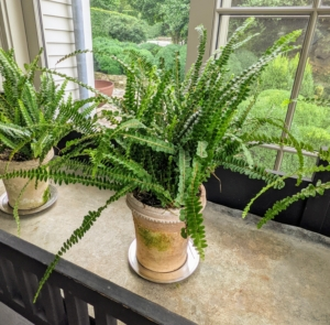This is a button fern - a dependable plant that grows well indoors with little care. Button ferns are small compared to other fern varieties - they only grow 12 to 18 inches tall, making them ideal candidates for small spaces.