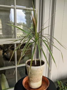 Dracaena has strap-like leaves that emerge in a fountain-like cluster from a thick woody stem. This plant can grow as much as six feet in height when grown as a potted plant. In outdoor settings, it has been known to grow up to 20 feet.