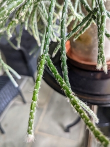Here's a closer look. Also known as chain cactus or mistletoe cactus, the thread-like succulent stems on the cactus are narrow, green and in can grow several feet long.