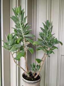 Kalanchoe is a genus of about 125 species of tropical, succulent flowering plants in the family Crassulaceae, mainly native to Madagascar and tropical Africa. This one is sitting in the corner of the porch near my desk.