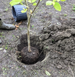 When planting a tree or shrub, measure the height of the root-ball to determine the approximate hole depth. Measure the diameter of the root ball to determine the width of the hole. The hole should be no deeper than the calculated depth. The rule of thumb is that the width of the hole should be a foot wider than the root-ball diameter.