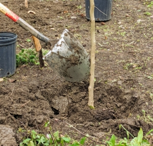 """Once the tree is properly positioned in the hole, Brian backfills. """"Bare to the flare"""" is the general saying when planting trees - the top of the root flare should always be above ground."""