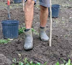 Next, Brian gently steps around the root ball to ensure there aren't any air pockets.