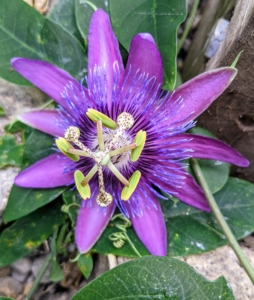 And here is the Passiflora, known also as the passion flower - a genus of about 550 species of flowering plants. These flowers grow on tendril-bearing vines. They can be woody or herbaceous. Flowers come in several different colors including lavender, blue, white, pink, and red.
