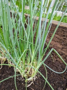 The scallions are also growing wonderfully. Growing scallions is actually easier than growing onions since they have a much shorter growth period. Varieties sown in spring can be harvested just 60 to 80 days after planting or when transplants reach about a foot tall.