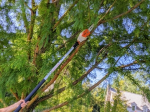 Brian starts by cutting the most obvious low growing branches and checks for dead, broken, and diseased branches that also need to be removed. This can be done at any time of year.