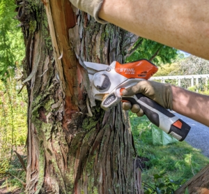 Then he cuts off the remaining branch by cutting back to the branch collar.