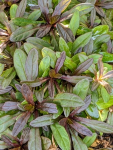 Ajuga 'Chocolate Chip' is a dwarf, spreading groundcover that creates a tight mat of rich, chocolate brown foliage with dark green undertones.