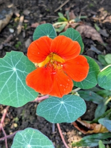 This is a Nasturtium. Nasturtium plants, Tropaeolum, are loved for their rich, saturated, jewel-toned colors. Planted in the spring after the threat of frost has passed, they are fast and easy to grow. Nasturtium is a genus of about 80 species of annual and perennial herbaceous flowering plants. It was named by Carl Linnaeus in his book Species Plantarum, and is the only genus in the family Tropaeolaceae. These flowers can vary in shade, but the most popular versions are orange, yellow, pink, red, or mahogany. There are also varieties in subdued shades of butter yellow and cream.