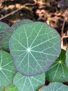 Here's a closer look at the interesting leaves of Nasturtium. The leaves are circular, shield-shaped and grow on a trailing plant. They are fragrant, with a mustard-like scent.