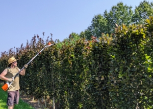 Ryan uses our STIHL battery telescoping hedge trimmers to trim off the long tops as a start. Pruning means to lop or cut off any superfluous branches or shoots for better-shape and better growth. These look fuller every year – in part because of our regular pruning.