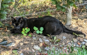 Meanwhile, Blackie is back outdoors in the shade of the beech hedge and behind these beautiful Nasturtium leaves. How often do you groom your feline friends? Share your comments below.