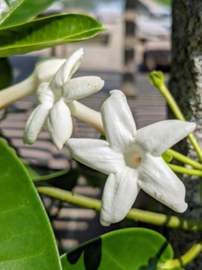 The flowers are narrow, tubular, waxy horns about two inches in length that open to a crown of five lobes and stamens.