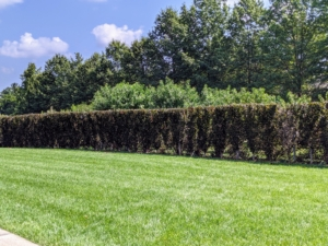 Here's a look at one side of the newly pruned hedge – so straight all the way down.