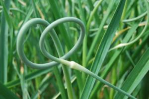 Scapes can be cut when the center stalks are completely formed and curled ends are seen growing above the rest of the plants.