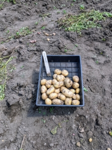 These 'Montana' potatoes have yellow skin and flesh, and are oval in shape with shallow eyes. They are good early to mid season potatoes that store well.