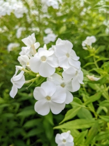 The phlox is thriving in the garden. Phlox has superb heat and mildew resistance. Phlox is a tall and upright grower that's great for the back of the border, or even planted at the edge of the garden among the shrubs. Phlox also comes in a range of colors from pure white to lavender to even red and grows happily in most parts of the country. If properly planted and sited, phlox is largely pest and disease free too – a perfect perennial.