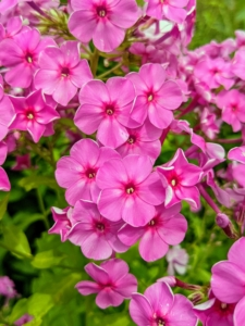 This phlox is called 'Robert Poore'. The deep green foliage is topped by large rounded clusters of fragrant magenta pink flowers from summer into early autumn.