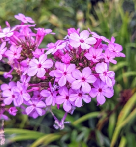 Here's another phlox variety. The flowers bear a mild fragrance and come in a wide range of colors. These perennials also attract hummingbirds and butterflies.