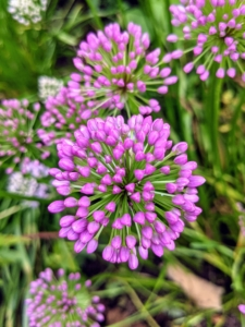 Alliums can grow in almost any garden soil, but need full sun and good drainage.