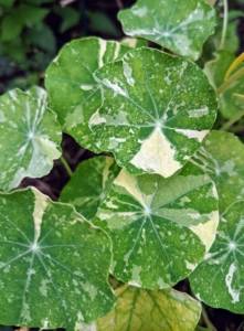 Here's a closer look at the interesting leaves of variegated Nasturtium. Variegated Nasturtium leaves are circular, shield-shaped leaves that grow on a trailing plant. The leaves are fragrant, with a mustard-like scent.