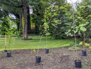 The first step is to place the trees around the garden bed - at least 15-feet apart. Because we also have bulbs planted in various sections of this garden, it's also important not to disrupt any of them. If any bulbs are found, they're gently replanted.