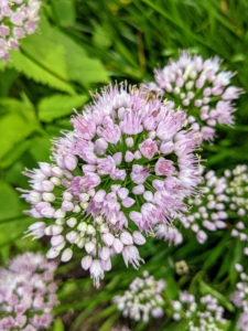 I also grow many alliums here at the farm and they continue to bloom so beautifully. These easy-to-grow bulbs come in a broad palette of colors, heights, bloom times, and flower forms. They make excellent cut flowers for fresh or dried bouquets. These one to two inch diameter flowers are lavender or mauve and stand above the foliage.